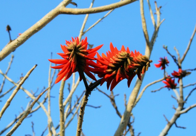 coral-tree-flowers